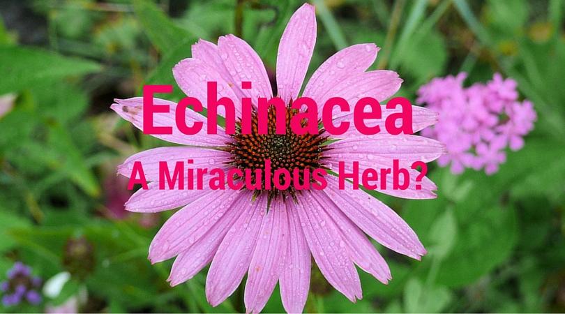 Echinacea – A Miraculous Immune Boosting Herb?