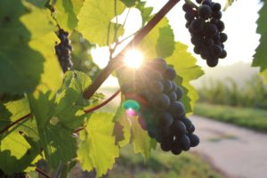 Eating Grapes & Blueberries Together Significantly Reduces Memory Loss